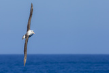 A Black-Browed Albatross in Flight over Blue Water in Drake Passage, Antarctica Photographic Print by Ralph Lee Hopkins