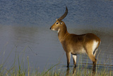 Portrait of a Lechwe Waterbuck Standing in a Spillway Photographic Print by Beverly Joubert