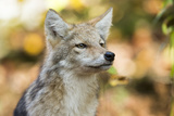 Close Up Portrait of a Coyote Pup, Canis Latrans Photographic Print by Robbie George