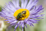 A Sweat Bee, Agapostemon Species, Collects Pollen from a Boltonia Flower, Boltonia Asteroides Photographic Print by Robbie George