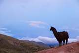 Two Llamas Stand in the Mountains of Peru Reprodukcja zdjęcia autor Erika Skogg