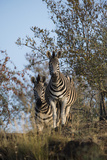 A Portrait of Two Zebras in their Environment Photographic Print by Bob Smith