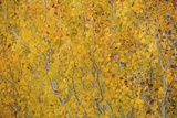 Fall Colors in an Aspen Grove Above Bishop Photographic Print by Macduff Everton