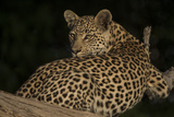 A Female Leopard Resting in a Tree Photographic Print by Bob Smith