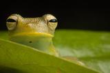 Portrait of a Granular Glass Frog, Cochranella Granulosa Photographic Print by Robin Moore