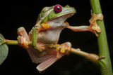 Portrait of Gliding Tree Frogs, Agalychnis Spurrelli, Mating Photographic Print by Robin Moore