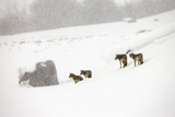 A Pack of Coyotes, Canis Latrans, in a Snowy Landscape Photographic Print by Robbie George
