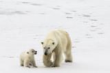 A Polar Bear, Ursus Maritimus, and Her Cub Reproduction photographique par Kent Kobersteen