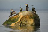 Five Double-Crested Cormorants, Phalacrocorax Auritus, on a Rock Reproduction photographique par Paul Colangelo