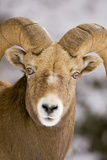 A Male Bighorn Sheep, Ovis Canadensis, in the Rocky Mountains Photographic Print by Paul Colangelo
