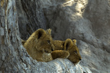 Two Lion Cubs Resting on Exposed Tree Roots Photographic Print by Beverly Joubert