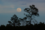 Moonrise over Sand Pines in Ocala National Forest Photographic Print by Carlton Ward