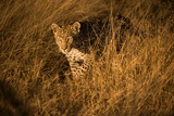 Portrait of a Female Leopard Stalking in Tall Grass Fotografisk tryk af Bob Smith
