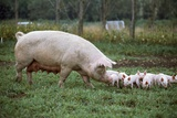 A Sow and Piglets Enjoying Sun and Fresh Air at an Organic Farm Photographic Print by Macduff Everton