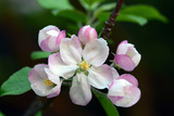 Close Up of Apple Flowers, Malus Species, in Cape Breton Highlands National Park Photographic Print by Darlyne A. Murawski