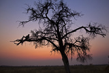 A Leopard Sitting in a Tree at Sunset Photographic Print by Beverly Joubert