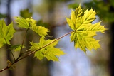 A Norwa Maple Leaf Strongly Backlit by the Sun Photographic Print by Darlyne A. Murawski