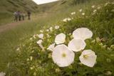 Morning Glory Flowers Grow on Santa Cruz Island Photographic Print by Phil Schermeister