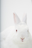 Close Up Portrait of a White Domestic Rabbit, the Kind Used in Laboratory Testing Photographic Print by Rebecca Hale