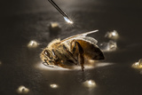 A Syringe Places a Minute Droplet of Phenothrin on a Honeybee Photographic Print by Anand Varma