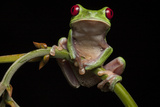 Portrait of a Red-Eyed Tree Frog, Agalychnis Calidryas Photographic Print by Robin Moore