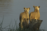 Two Lioness Preparing to Cross a Spillway as their Cubs Sit in the Reeds and Watch Photographic Print by Beverly Joubert
