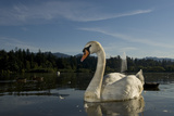 A Mute Swan, Cygnus Olor, on Lost Lagoon in Stanley Park Photographic Print by Paul Colangelo