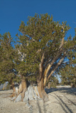 Great Basin Bristlecone Pines, Pinus Longaeva, Among World's Oldest Living Trees, Patriarch Grove Photographic Print by Gordon Wiltsie