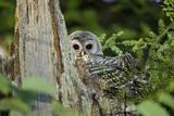 A Juvenile Barred Owl, Strix Varia, Rests on Top of a Dead Tree Reproduction photographique par Paul Colangelo