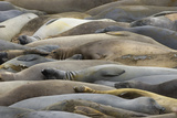 Northern Elephant Seals, Mirounga Angustirostris, Rest on the Shore Reprodukcja zdjęcia autor Paul Colangelo