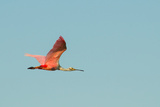 A Roseate Spoonbill in Flight Photographic Print by Carlton Ward