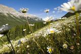 Oxeye Daisies, Leucanthemum Vulgare, Grow in the Kananaskis Range in Peter Lougheed Provincial Park Photographic Print by Paul Colangelo
