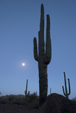 Full Moon over Saguaro Cacti in Alamo Canyon, in the Ajo Mountains Photographic Print by Bill Hatcher
