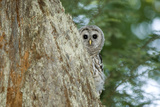 A Juvenile Barred Owl, Strix Varia, Peeks from Behind a Tree Photographic Print by Paul Colangelo