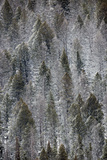 A Patchwork Landscape of Evergreen Trees with and Without Snow Photographic Print by Robbie George