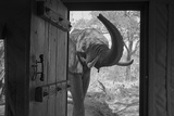 An African Elephant Looking into a Doorway in a Camp Photographic Print by Beverly Joubert