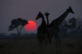 Three Giraffe Silhouettes Against the Setting Sun Fotografisk tryk af Beverly Joubert