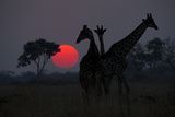 Three Giraffe Silhouettes Against the Setting Sun Photographic Print by Beverly Joubert