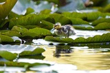 Mallard Ducklings, Anas Platyrhynchos, Walk across Lily Pads Photographic Print by Paul Colangelo