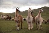 Llamas and Alpacas Grazing in the Mountains of Peru Reprodukcja zdjęcia autor Erika Skogg