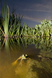 A Bullfrog, Rana Catesbeiana, in Beaver Lake Photographic Print by Paul Colangelo