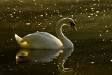 A Mute Swan, Cygnus Olor, Floats on a Lake Among Feathers Photographic Print by Paul Colangelo