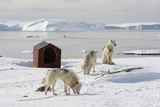 Greenland Dogs, a Breed of Husky, with Disko Bay in the Background Reproduction photographique par Sergio Pitamitz