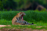A Jaguar Yawning on a River Bank in the Pantanal Photographic Print by Steve Winter