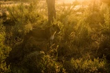 A Lioness in Warm Sunlight Photographic Print by Bob Smith