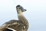 A Mallard, Anas Platyrhynchos, at Beaver Lake Photographic Print by Paul Colangelo