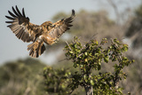 A Tawny Eagle Preparing to Land in a Tree Top Photographic Print by Bob Smith