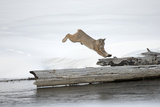 A Bobcat, Lynx Rufus, Leaping onto a Downed Snag Photographic Print by Robbie George