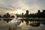 A Mute Swan, Cygnus Olor, in Lost Lagoon in Stanley Park Photographic Print by Paul Colangelo