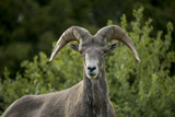 Portrait of a Bighorn Sheep Near the Gird Point Lookout on a Mountain Peak Fotodruck von Ami Vitale